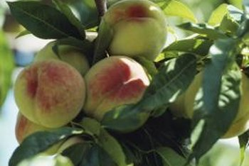Pick fruit when ripe to help keep pests from infesting the tree.