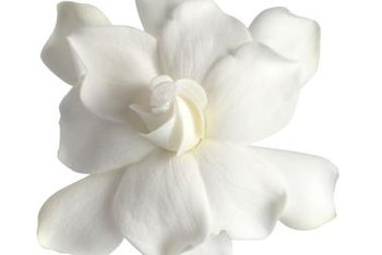 Gardenias are challenging to grow outside of the tropics.
