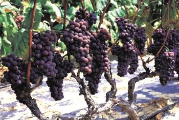 Native American bunch grapes grow best on high-cordon trellises.