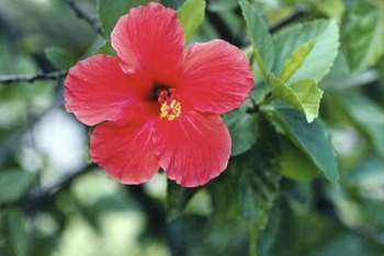 Hibiscus create a lush, attention-getting look.
