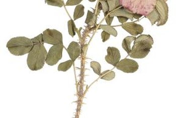 Nearly all roses carry clothes- and skin-snagging thorns, sometimes creating medical problems.
