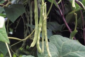Weather affects beans plants in both positive and negative ways.