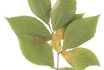 White alders are native to the California coastal areas.