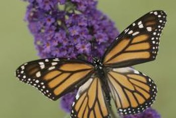 A hedge of butterfly bush will attract butterflies to your yard.