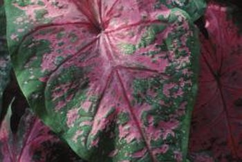 Potted caladiums decorate decks, patios, porches or patios.