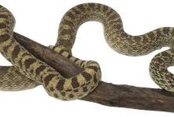 Gopher snakes are harmless to humans.
