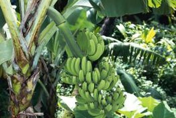 Smaller banana plants grow all year round as houseplants in cold climates.