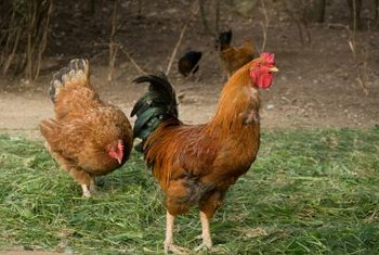 Chicken manure is rich in important plant nutrients such as nitrogen, phosphorus and potassium.