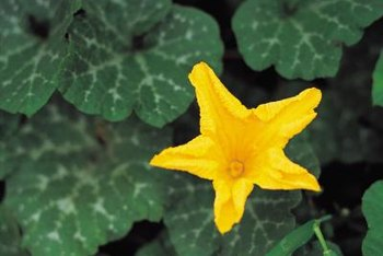 Mature squash plants can tolerate some fungus.