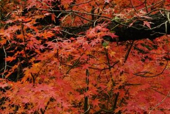 "The undersides of Japanese dwarf ""Pixie"" maples leaves are a greenish-orange color."