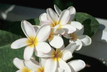 Leis are made with plumeria blooms.
