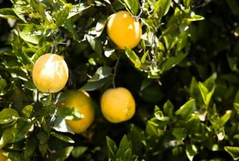 Citrus grows best in warm, sunny climates.