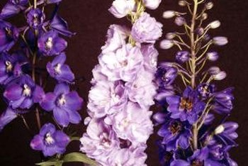Delphiniums make elegant border plants.