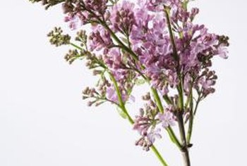 Take extra lilac cuttings because some will fail to root.