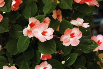 Impatiens flowers can be solid or bi-color and striped or spotted.