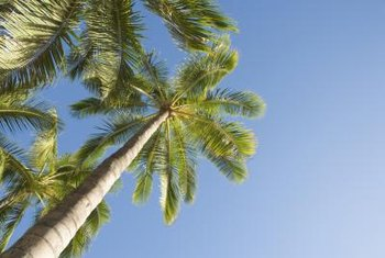 Queen palms are common in tropical parts of the country.