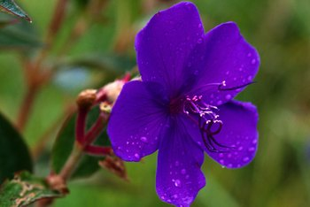 Keeping your lawn healthy helps control wild violets.