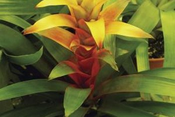 "Bromeliads like ""Samba"" are prized for low light requirements and a tropical look."