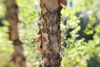 Bark is composed on nonliving tissue on the outside and living tissue on the inside.