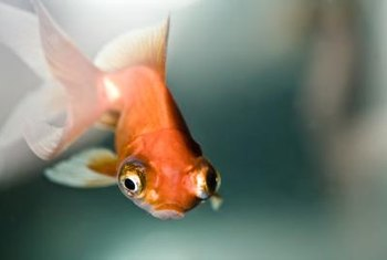 Goldfish are one of many types of fish that can be used for aquaponics.