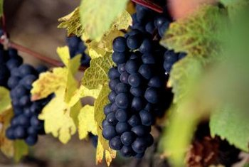 Carbohydrates and nutrients stored in roots feed grapevines and fruit clusters.
