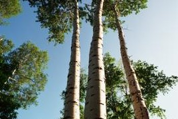 For poplar trees, good health translates to fast growth.
