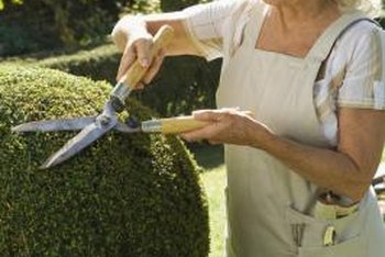 Hedge trimmers allow careful shaping of shrubs.