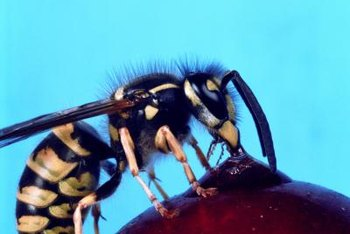 Yellow jackets help reduce pest populations.