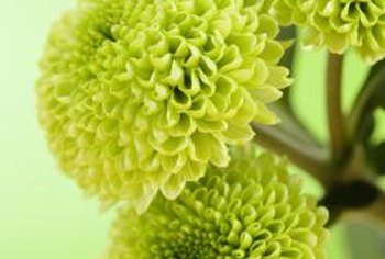Green flowers provide attention-getting contrast to more common flower colors in bouquets.