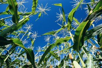 Corn needs warm soil and moist conditions to sprout.