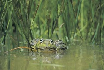 Frogs without a pond may use a swimming pool instead.
