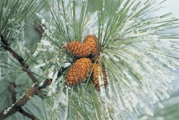 Pine trees should not be fertilized in the winter.