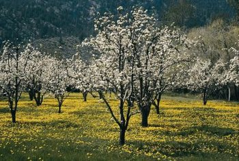 Newer varieties of apple trees reach shorter heights than their standard counterparts.