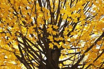 Some trees naturally display yellow leaves in autumn.