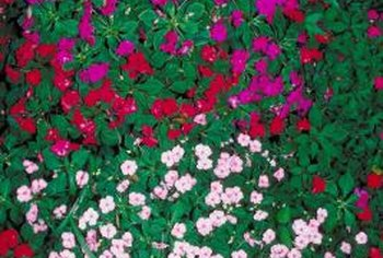 A colorful mound of Impatiens wallerana.
