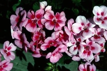 Geraniums are herbaceous plants that can be produced from a stem cutting.