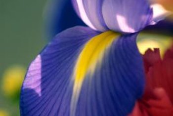Iris plants add colorful, interesting flowers to gardens.