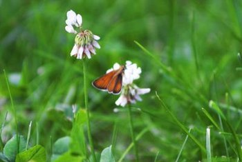 White clover (Trifolium repens) is a perennial with a creeping, prostrate habit.