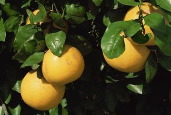 The peels and inner membranes of grapefruit are a rich source of pectin.