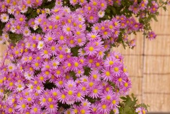 "Vigorous ""Purple Dome"" asters may be fairly resistant to powdery mildew."