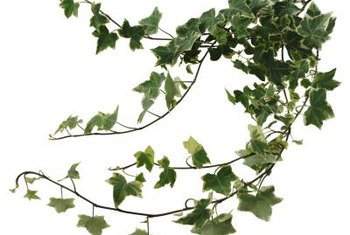 Ivy forms long strands that can be shaped.