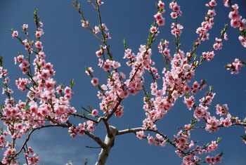 Dwarf peach trees have ornamental appeal.