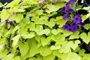 Pair petunias with a chartreuse plant for a vivid contrast.