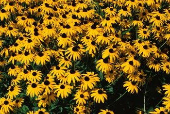 Black-eyed Susans can spread to create a large, yellow patch of flowers.