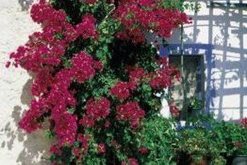 Bougainvilleas are deciduous if you live in an area with long, dry season.