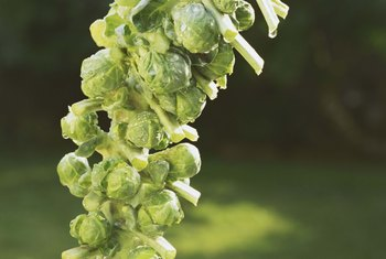 Brussels sprouts are slow-growing vegetables that do best in cool weather.