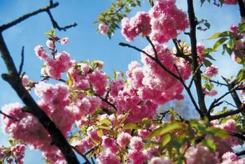 Double weeping cherry trees put on a yearly display of flowers in the spring.
