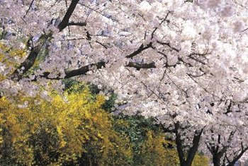 Yoshino cherry blossoms appear at least two weeks before the leaves in spring.