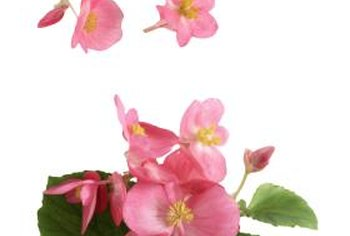 Wax begonias can be grown in flowerbeds or containers.