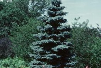 Allow evergreens to grow to their natural form whenever possible.